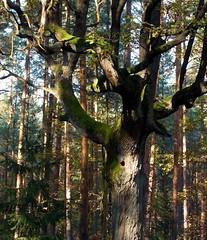 I see you..... (Jacek Magryta) Tags: jacek landscape lowersilesia light tree oak old borydolnoslaskie zielonka zgorzeleccounty lights poland polska zielonkavillage autumn colours