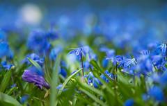 Blaues Meer (KaAuenwasser) Tags: blausterne blaustern blau pflanze blüte blüten blume blumen zier zierpflanze makro wiese meer farbe sony ilce7rm3 natur garten botanischergarten park anlage