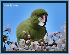 Parakeet (maryimackins) Tags: parakeet blossom st james park london wildlife mary mackins