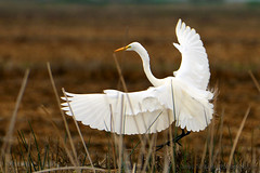 Great_Egret_07 (DonBantumPhotography.com) Tags: wildlife nature birds animals greategret whitebird donbantumphotographycom donbantumcom