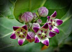 Milk weed . Calotropis sp. (Uhlenhorst) Tags: 2009 australia australien plants pflanzen flowers blumen blossoms blüten travel reisen