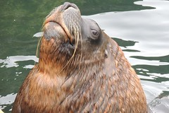 Lord Snooty (Kevin Pendragon) Tags: cornwallsealsanctuary cornwall clouds sun sunshine water lake tree trees sky brown national nature naturephotography outside green light new patagonian sea lion male eyes whiskers blue