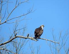 Osprey, Bucks County, PA, March 2019 (sstaedtler) Tags: osprey buckscountypa pennsylvania wildlife birding bird nature outside
