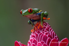 Red-eyed Tree Frog Checks His Surroundings From A Tip Of A Blossom (brucefinocchio) Tags: redeyedtreefrog treefrog frog alertfrog checkingsurroundings tipofablossom agalychniscallidryas froghaven caribbeanlowlands costarica