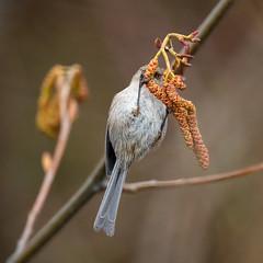 Bushtit 20190321_3753 (GORGEous nature) Tags: bushtit passerine psaltriparusminimus skamaniaco spring vertebrates washington bird crgnsa female foraging march ©johndavis