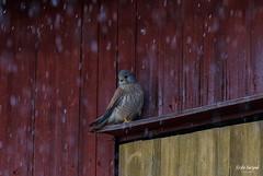 SO8A1265 (Risto Kuisma) Tags: rain potrait hawk tuulihaukka pukkila finlande finland spring red yellow snow birdlife bird outdoor commonkernel kevät lintu nature