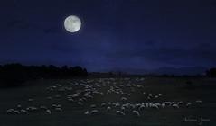 Composizione notturna, night composition (adrianaaprati) Tags: caffarella pecore composition sky stars moon sheep flock shepherd meadow night landscape winter december