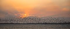 Welcome, 2019 (Ben-ah) Tags: clouds silhouettes taiwan birds sunrise sunset travelphotography birdsmigration blackbelliedtern tern