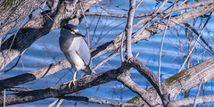 Black-crowned night heron (sniggie) Tags: ardeidaefamily kentuckydam nycticoraxnycticorax bird blackcrownednightheron kentucky marshallcounty kos