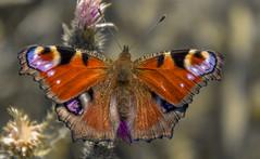 Nymphalis io (Torok_Bea) Tags: nymphalisio nappalipávaszem pávaszem beautiful butterfly nikon nikond7200 natur nature nikon1680 nikond macro lovely lepke wonderful wildanimal wild papilion croatie horvátország