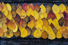 Autumn birch leaves on wooden board with nature patterns (Jim Corwin's PhotoStream) Tags: abstract abstractbackgrounds abstractimages abundance agingprocess autumn autumncolors autumnseason background beautyinnature birchleaf birchleaves botany brown change climate closeup concepts decay decaying directlyabove earlymorning environment fallcolors fallseason woodenboard fragility frost highangleview horizontal largegroupofleaves leaf leafpattern leafpatterns leafvein leafveins leaves lifecycle macrophotography birchleafcloseup mothernature naturalchanges naturalelements naturalpatterns nature naturecovering naturepatterns nobody outdoors overheadview patterns photography plants scenicsnature seasons selectivefocus stilllife symmetry texture tranquil tranquility vibrantcolor woodboard