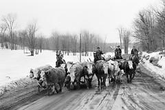 Village Life - Cattle Drive. 1970's (johnjackson808) Tags: horses herding cattle monochrome streetphotography cowboys people 1970s bw farm rural blackandwhite mckellarontario snow