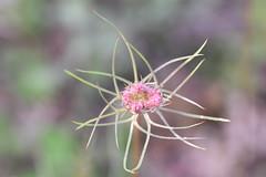 Daucus carota (esta_ahi) Tags: olèrdola daucus carota daucuscarota zanahoriasilvestre umbelliferae apiaceae flor flora flores silvestres white penedès barcelona spain españa испания
