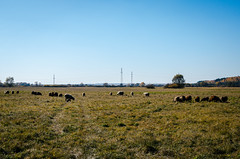 Sheep graze in a meadow in Russia (ivan_volchek) Tags: agriculture animal autumn cattle contrast country countryside cute farm farming field flock flockofsheep grass graze grazeland grazing green greenhills group herd lamb landscape lightrain livestock mammal meadow nature russia transmissionline