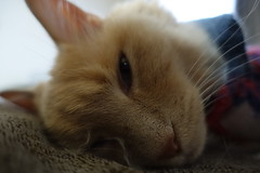 Napping Until Dinner (sjrankin) Tags: 18january2019 edited kitahiroshima hokkaido japan animal cat livingroom closeup couch tunic norio blanket