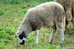 Mouton miroir (Jean-Daniel David) Tags: animal animaldomestique ferme nature mouton moutonmiroir herbe vert verdure pelouse pâturage pâture ovin lausanne sauvabelin parc suisse suisseromande vaud