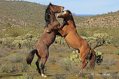 Dance with me Henry (littlebiddle) Tags: wildlife mammal animal horse equine arizona saltriver