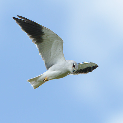 "Black-winged (black-shouldered) kite, Elanus caeruleus, at Marievale, Gauteng, South Africa • <a style=""font-size:0.8em;"" href=""http://www.flickr.com/photos/93242958@N00/45979035395/"" target=""_blank"">View on Flickr</a>"