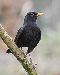 Blackbird (LouisaHocking) Tags: wild wildlife british bird nature southwales wales cyfarthfa park merthyrtydfil merthyr walk woods gardenbird