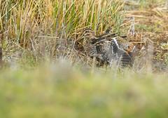 Snipe wing stretch (Kev Wardlaw) Tags: venuspool snipe shropshire wildlife
