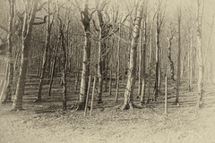 HFF  from Powerscourt (Wendy:) Tags: nik silvereffects trees mono fence powerscourt forest woods hff htmt