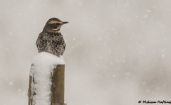 Dusky Thrush (Turdus eunomus) - Nanaimo, BC (bcbirdergirl) Tags: recordshot duskythrush rare nanaimo bc duth turduseunomus thrush mega rarity abacode4 snow
