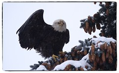 It's cold, let me take you under my wing. #photography #photooftheday #photoadaychallenge #project365 #canon7d #sigma150600 #bird #opcmag #baldeagle  #winter (PSKornak) Tags: photography photooftheday photoadaychallenge project365 canon7d sigma150600 bird opcmag baldeagle winter calgary alberta canada