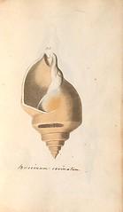 n82_w1150 (BioDivLibrary) Tags: greatbritain mollusks museumsvictoria bhl:page=57640291 dc:identifier=httpsbiodiversitylibraryorgpage57640291 conchologicaldictionary conchology shells britishisles britishislands williamturton british