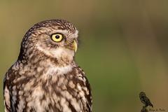 Athene noctua (LdrGilberto) Tags: mocho galego little owl athene noctua wild free hide barcelos abrigodomocho athenenoctua littleowl