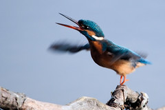 Kingfisher (Airwolfhound) Tags: kingfisher lackfordlakes suffolk