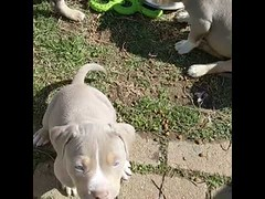 Cute Puppy Pitbull - Cute Dog (tipiboogor1984) Tags: aww cute cat funny dog youtube