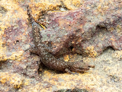 20190202 Marbled Leaf-Toed Gecko (Afrogecko porphyreus) (WillemZA) Tags: reptile gecko afrigecko closeup animal wildlife nature outdoors africa southafrica capetown pattern camouflage