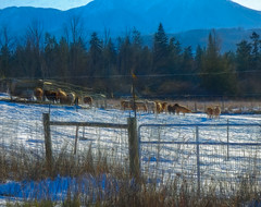 The Queue (Colormaniac too - Many thanks for your visits!) Tags: february winter snow snowday sheep waiting queue outdoors landscape digitalpainting pacificnorthwest washingtonstate olympicpeninsula sequim topazstudio netartll hss