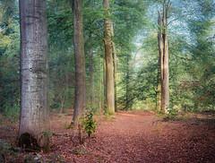 Pillars (Ingeborg Ruyken) Tags: 2018 autumn october woods berlicum fall flickr herfst ochtend morning wamberg forest oktober natuurfotografie instagram 500pxs shertogenbosch bos