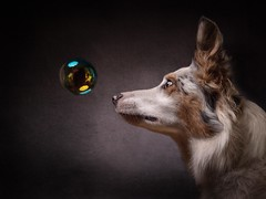 Bubble Alert (Chris Willis 10) Tags: will dexter eb studio bubble bordercollie redmerle alert attention dog reflection black colour canine looking fun cute playful playing pet animal