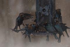 Feeder frenzy (Melinda G Pix) Tags: outdoor nature feeder frenzy cowbird birds