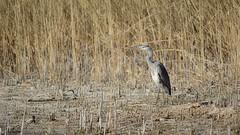 Grey Heron (Ardea Cinerea) (franzkohler) Tags: birds nature konstanz bodensee lakeofconstance spring warm heron water grey