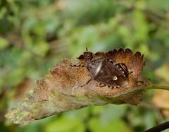 Dolycoris baccarum (rockwolf) Tags: dolycorisbaccarum punaise hairyshieldbug hemiptera heteroptera insect pentatomidae shawburyheath shropshire rockwolf