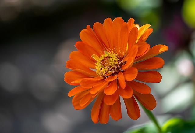 Обои цветок, боке, цинния картинки на рабочий стол, раздел цветы - скачать