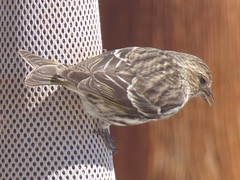 Pine siskin (Spinus pinus) (tigerbeatlefreak) Tags: pine siskin spinus pinus bird passeriformes nebraska