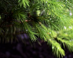 On a Rainy Day (filmcrazy1014) Tags: nikon nature wildlife outdoor outdoorphotography plants plant green contrast macro bokeh tree treebranch water waterdrop rain raindrop white colorful magical forest woods wood leaves pine bokehlicious