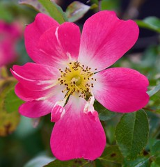 In The Pink (The Vintage Lens) Tags: pink flowers nature macro beauty plants
