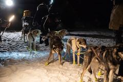 _ROS3386.jpg (Roshine Photography) Tags: dogs yukonquest dawson winter dogyard 36hourrestart huskies environmental yukonterritory snow dawsoncity yukon canada ca