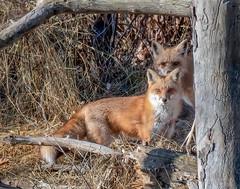 Red Fox (jerryherman1) Tags: nature nikond500 nikor200500f56 maryland mammal fox redfox wildlife