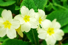 Primrose. (xbhbwify72) Tags: flower floral flora nature botany spring beautiful