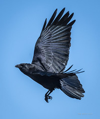 American Crow, Branched Oak Lake, NE (031546) Tags: branchedoaklake nebraska crow subtle coloring