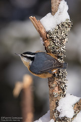 Sittelle à poitrine rousse / Red-breasted Nuthatch (Pierre Lemieux) Tags: redbreastednuthatch québec canada can forêtmontmorency sittelleàpoitrinerousse hiver neige snow winter