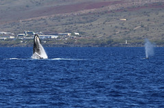 DSC_0558 (Don Holmgren) Tags: hawaii kohalacoast humpbackwhales whales breach