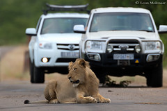 Without a care in the world (leendert3) Tags: leonmolenaar southafrica krugernationalpark mammals africanlion coth5