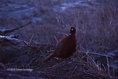 Male Pheasant awaiting sunrise (Trevdog67) Tags: male cock pheasant nature naturephotography birding birdwatching naturelovers predawn moncton newbrunswick canada wildlife nikon nikond7500 nikkor18300mm lowlight dim